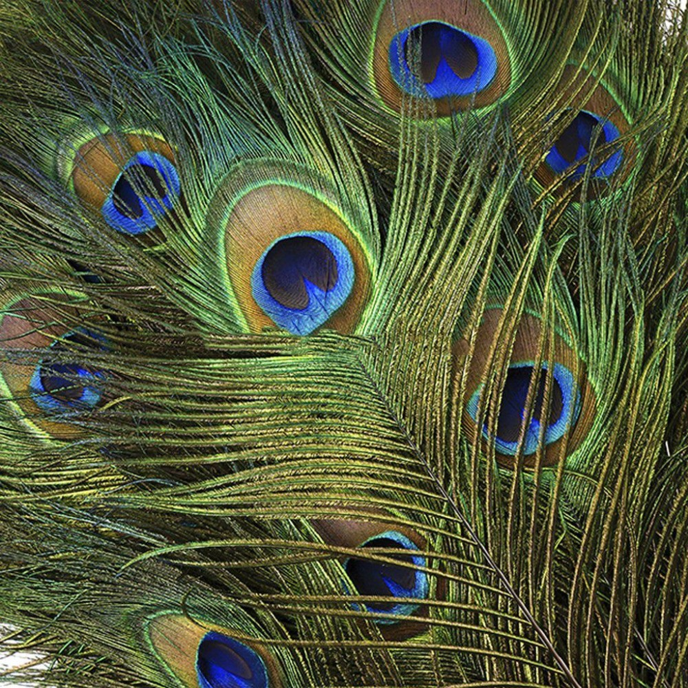 Peacock Feathers Natural Selection