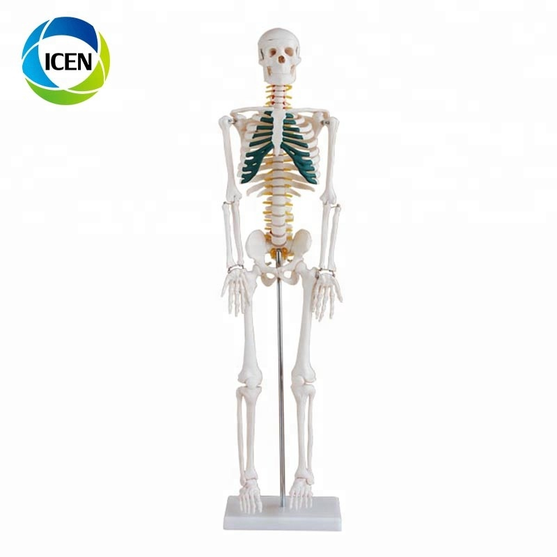 IN - 101 human body model 85 เซนติเมตรโครงกระดูกที่มี Spinal Nerves