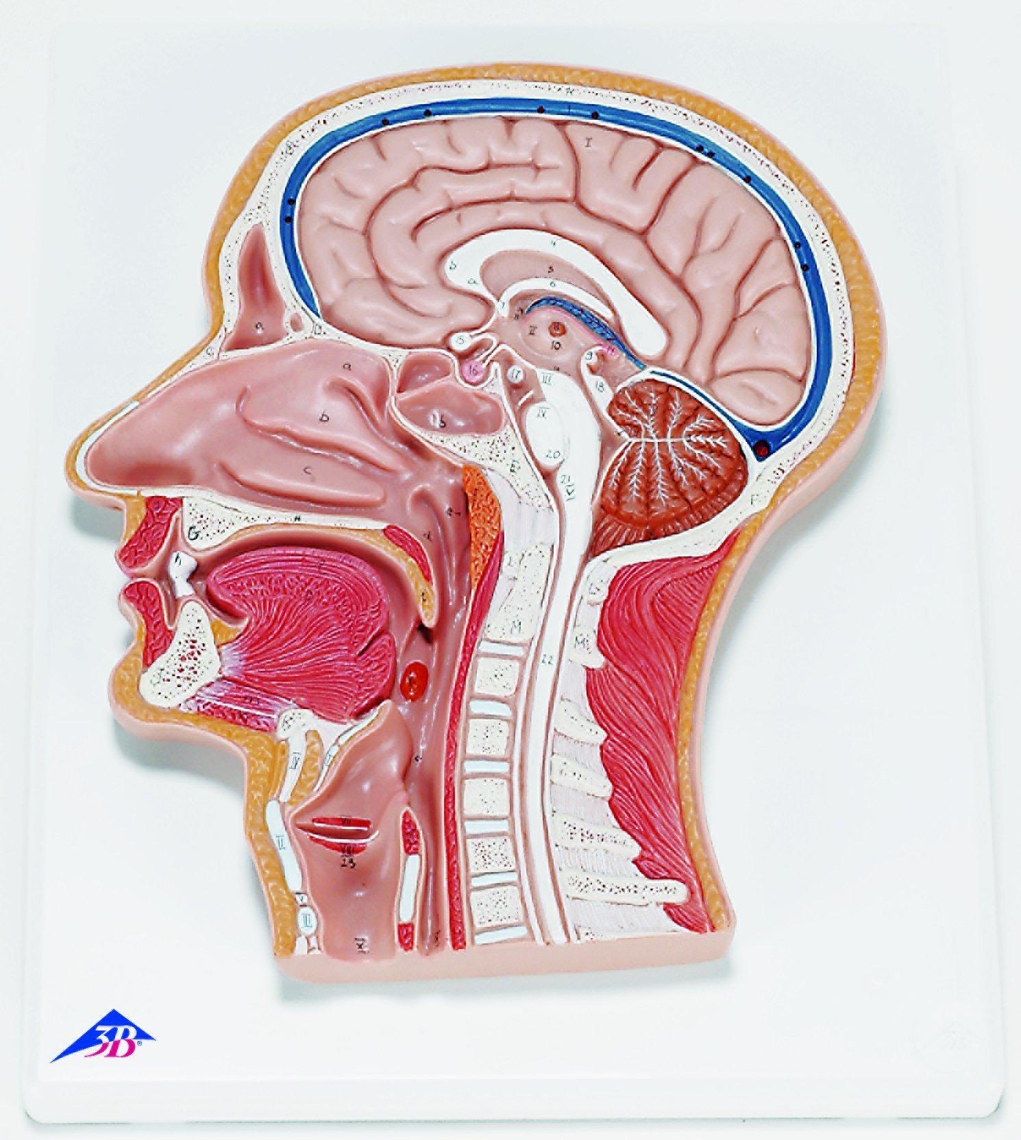 Cheap Median Sagittal Section Model Of Foot Find Median Sagittal