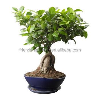 Home Decor Plants Small Ficus Microcarpa Bonsai Buy Home Decor