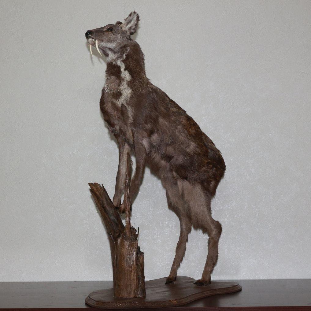 Buy Siberian Grey Wolf Taxidermy Mount Stuffed Animal