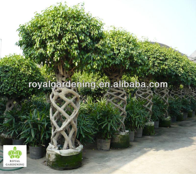 Ficus benjamina jaula forma planta topiario rbol de - Ficus benjamina precio ...