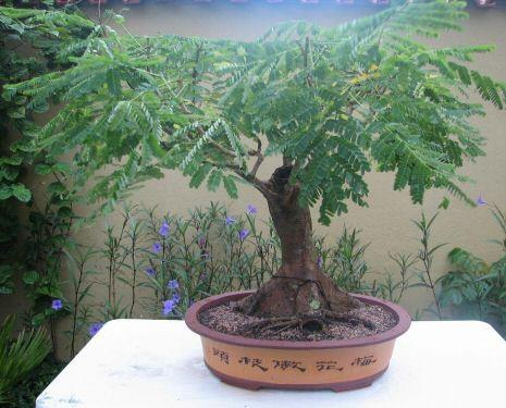 Bonsai flamboyan famboyant