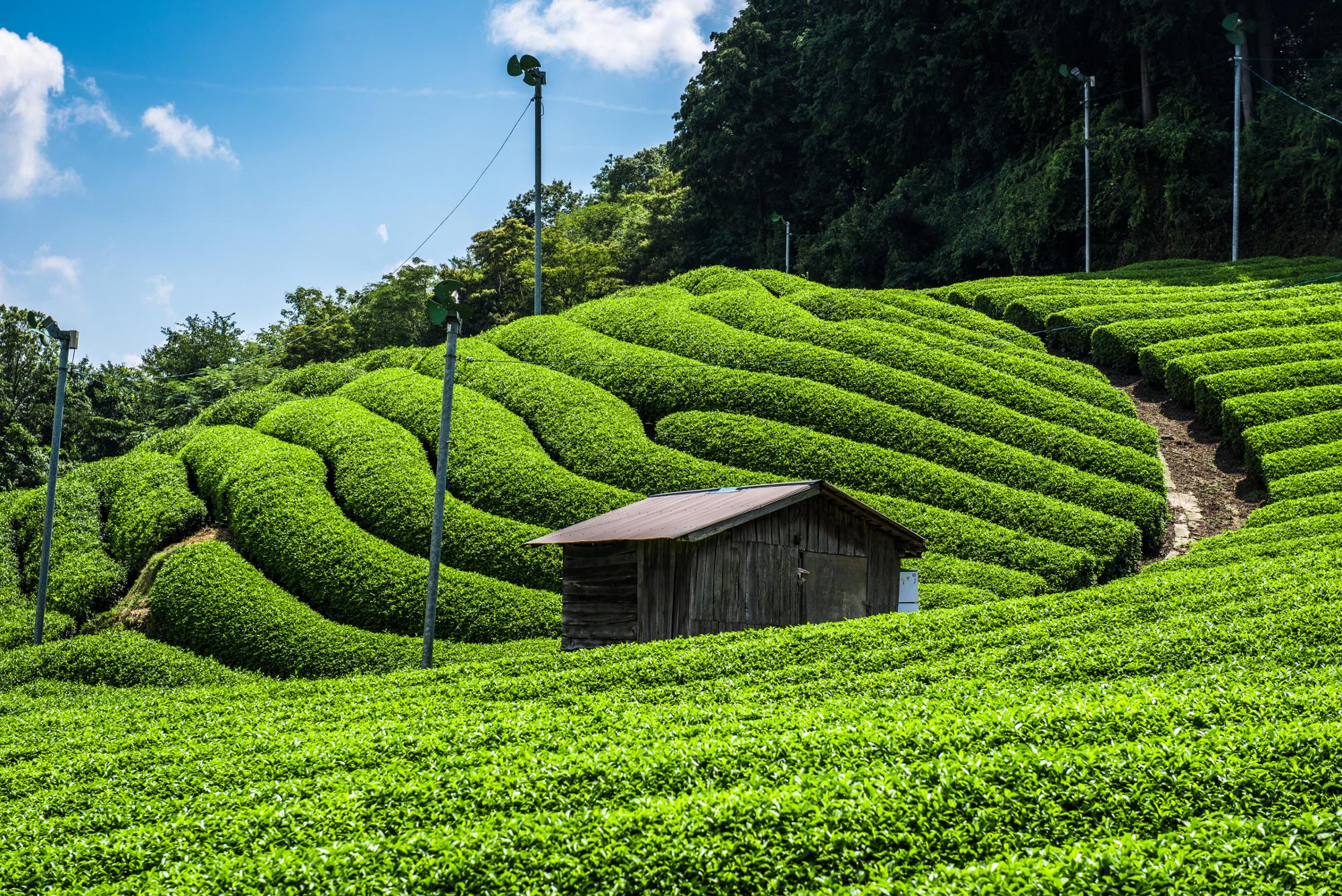 Uji cha al por mayor japonés Matcha orgánico té verde