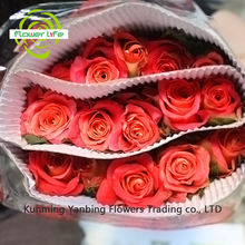 Big Rose Flower Names Fire Red Roses 60-80cm Long Konfetti Rose From Yanbing/yunnan