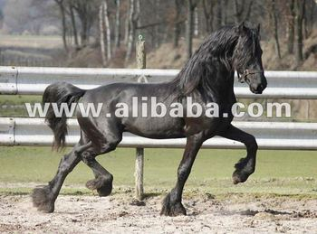 Friesian Horses,Spanish Horses,Barock Pinto,Lusitano Horses  - Buy Friesian  Horse For Sale Product on Alibaba com