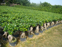 small medium indoor outdoor decorative ornamental bonsai plants of Jinseng Ficus Microcarpa