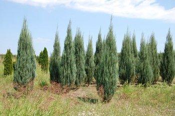 scopulorum skyrocket sale juniperus for