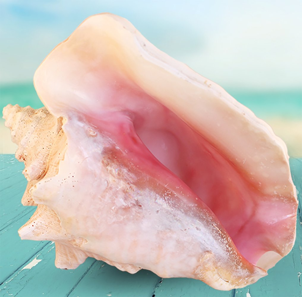 Pink Bahama Queen Conch Shell - 6-8 Inch Conch Shell All-Natural Conch Shell for Home Decor, Events, Parties and Crafting - Pink Conch Shell