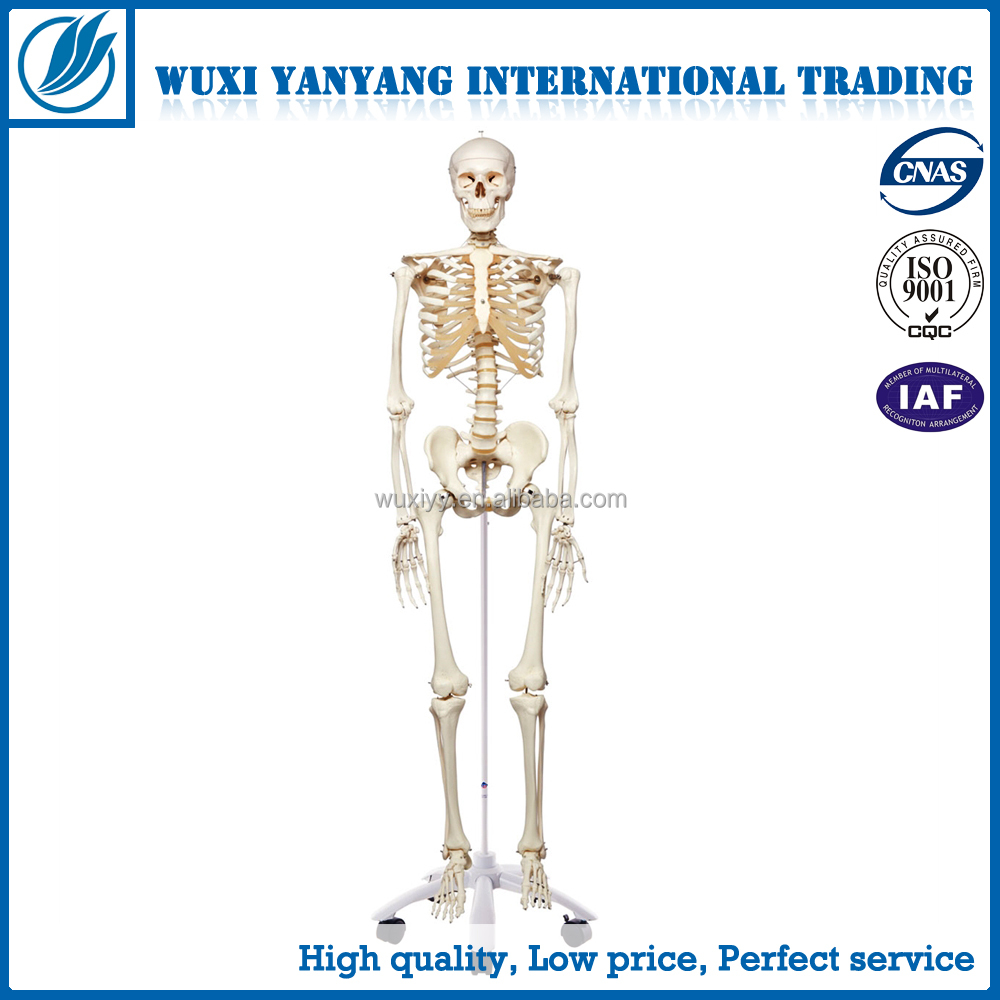Halloween Prop, 85cm Skeleton Model for Medical Science,Best Gift for Boy