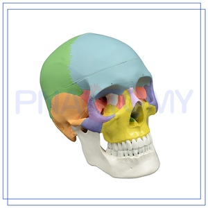 PNT-0153 Custom OEM professional Anatomy Skull Model For School Supplies with fast delivery