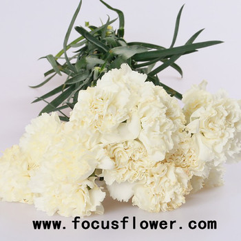 Wholesale tropical carnation flowers anthurium flowers snow white wholesale tropical carnation flowers anthurium flowers snow white with 20stemsbundle from rolane mightylinksfo