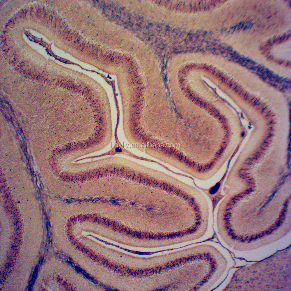 Anatomy Histology Brain Prepared Slides For Microscopes Buy