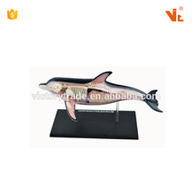 V-AM060 <span class=keywords><strong>4D</strong></span> <span class=keywords><strong>MASTER</strong></span> Dolphins proben anatomie modell