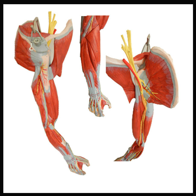 Iso Muscle Anatomy Modelarm Muscles With Main Vessels And Nerves