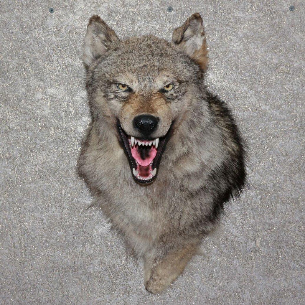 Buy Siberian Grey Wolf Taxidermy Head Shoulder Mount Stuffed