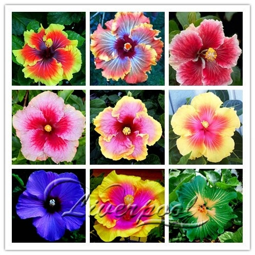 20 Giant Hibiscus Flower Seeds Hardy Look Good Year Round Garden Diy