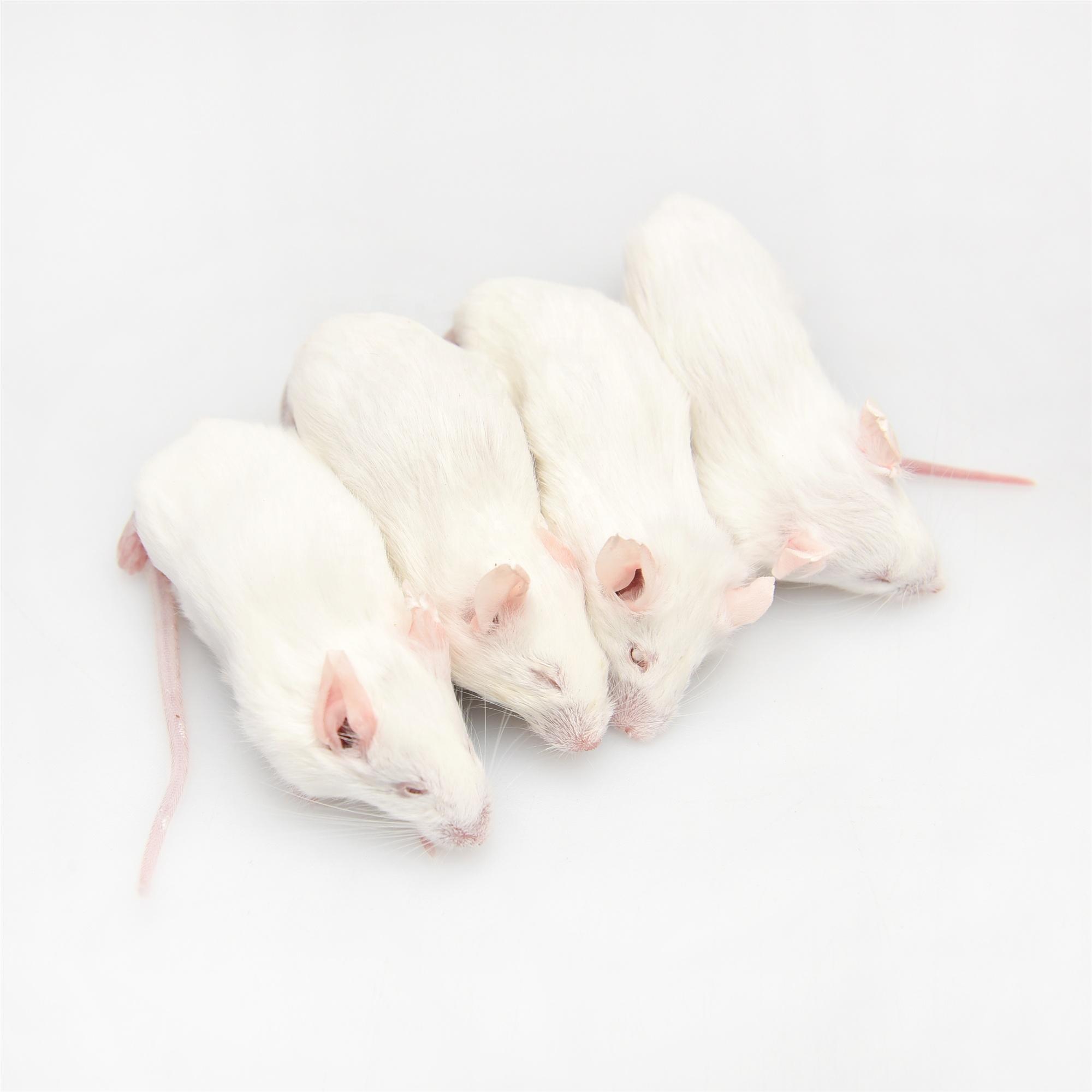 фото мышки бегунок готовы