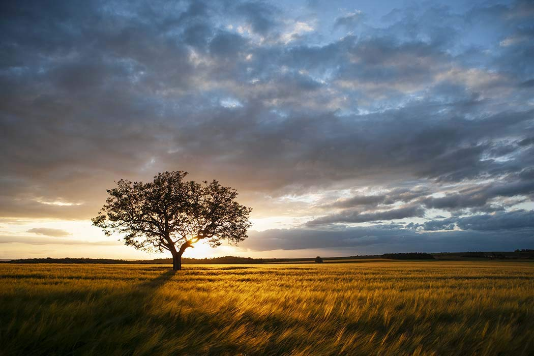 France, Photography, Burgundy, Yonne, tree, sunset, landscape, wheat, field, scenic, Europe, Art Print, Wall Art, Gift, Decor, Photo