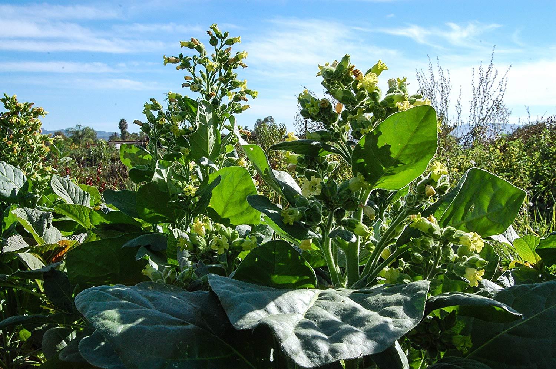 Seeds : Certified Organic ~350 Non-GMO Nicotiana tabacum Smoking Tobacco