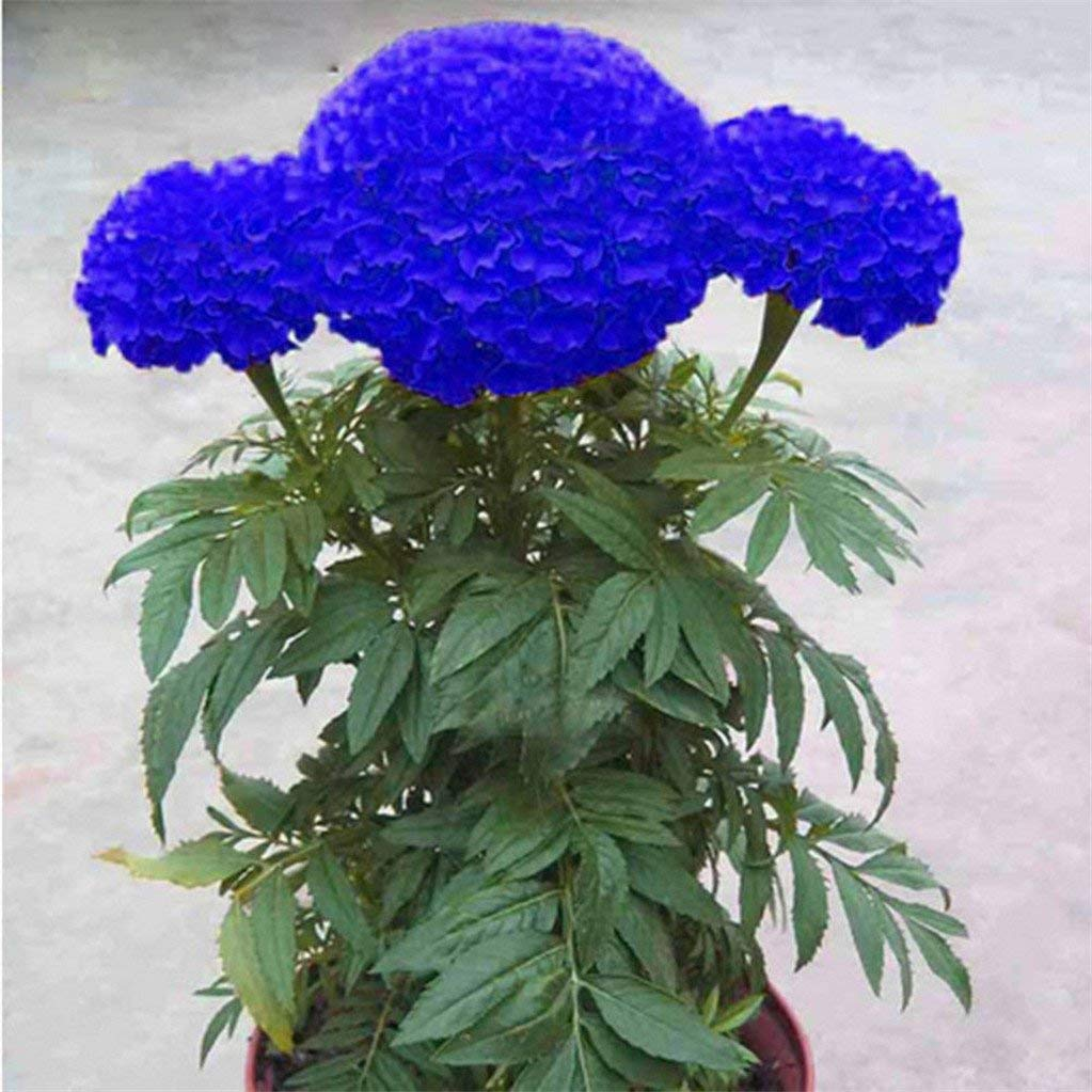 Cheap White Marigold Seeds Find White Marigold Seeds Deals On Line