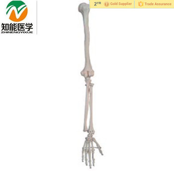 Anatomical Human Skeletal Arm Model Medical Skeleton Hand Limb