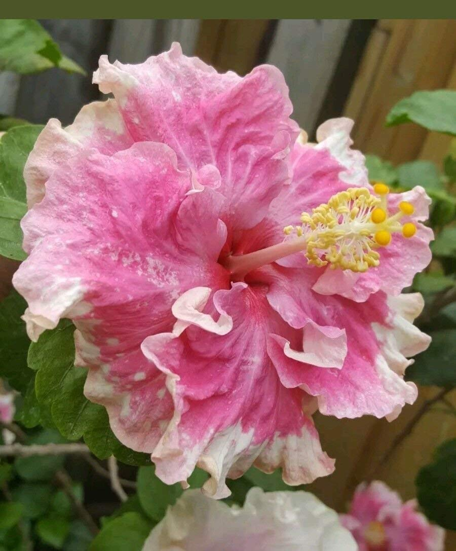 Cheap Hibiscus Plant Care Find Hibiscus Plant Care Deals On Line At
