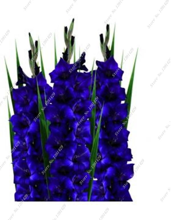 gladiolen samen werbeaktion shop f r werbeaktion gladiolen samen bei. Black Bedroom Furniture Sets. Home Design Ideas