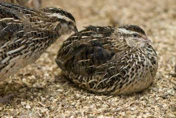 Quail Birds,Quail Meat And Quail Chicks,Quail Eggs - Buy Quail Birds And  Quail Eggs Product on Alibaba com