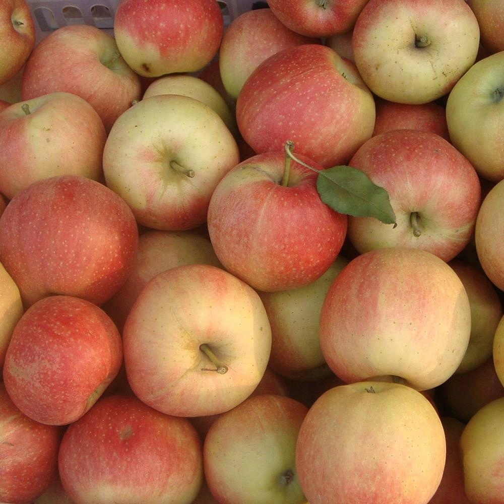 New crop royal gala <strong>apple</strong>/bulk fresh <strong>apples</strong>/New Crop Fresh Fuji <strong>Apple</strong>