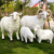 China suppliers home & garden decoration fiberglass New product life size sheep sculpture