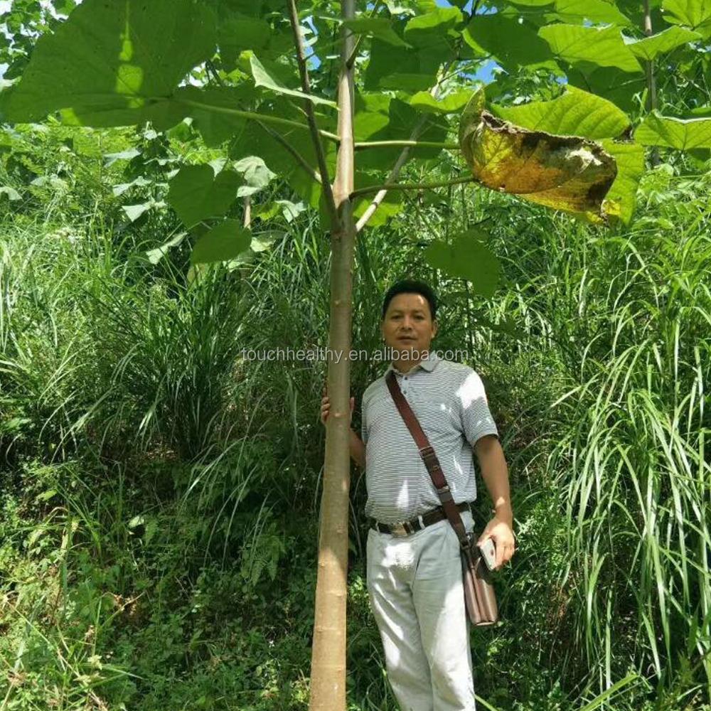 Piantare Alberi Di Paulonia 2018 paulownia tomentosa albero/paulownia fiore/royal paulonia fioritura  semi di albero per la vendita - buy paulownia seme,paulownia elongata
