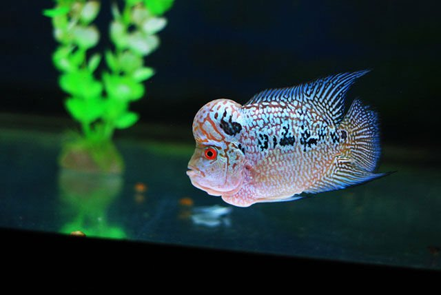 Flowerhorn From Thailand Best Quality Export