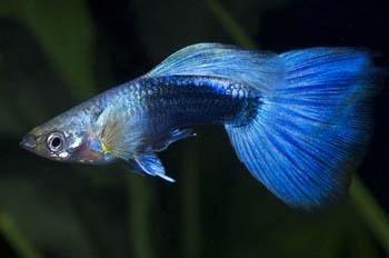 Fresh Water Aquarium Fish