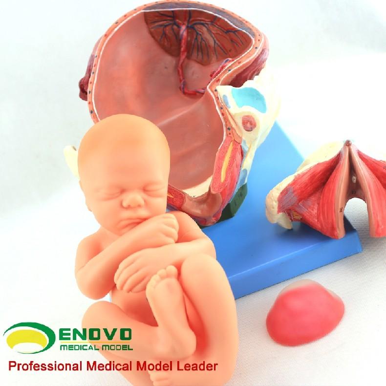 Anatomy32 (12470) Humano Parto Entrega Procedimiento Anatomía Modelo ...
