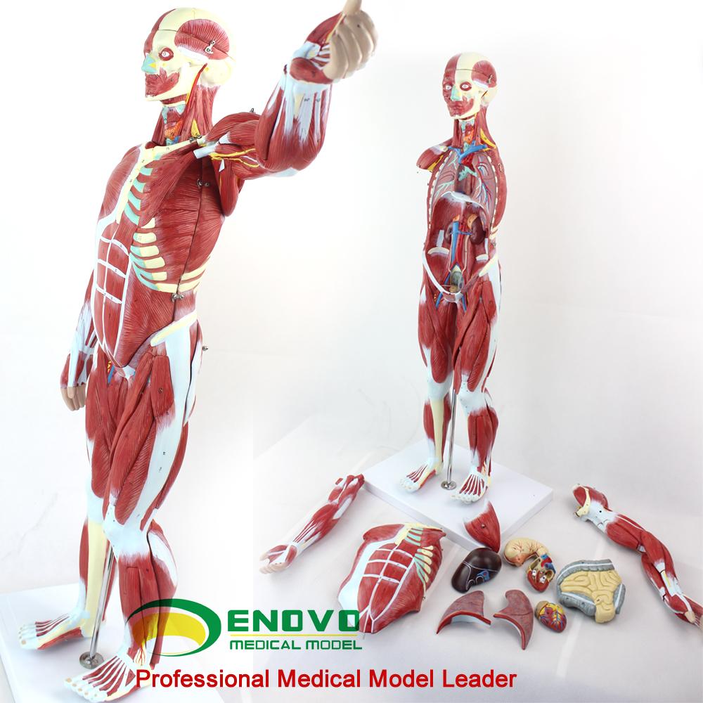 Anatomía del músculo 12024 tamaño completo 170 cm los músculos ...