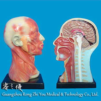 R050125 Human Head Neck Anatomy Parts Model For Medical Teaching