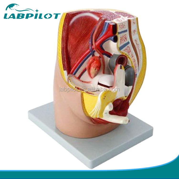 Median Sagittal Section Of Female Pelvic Model 3 Partshuman