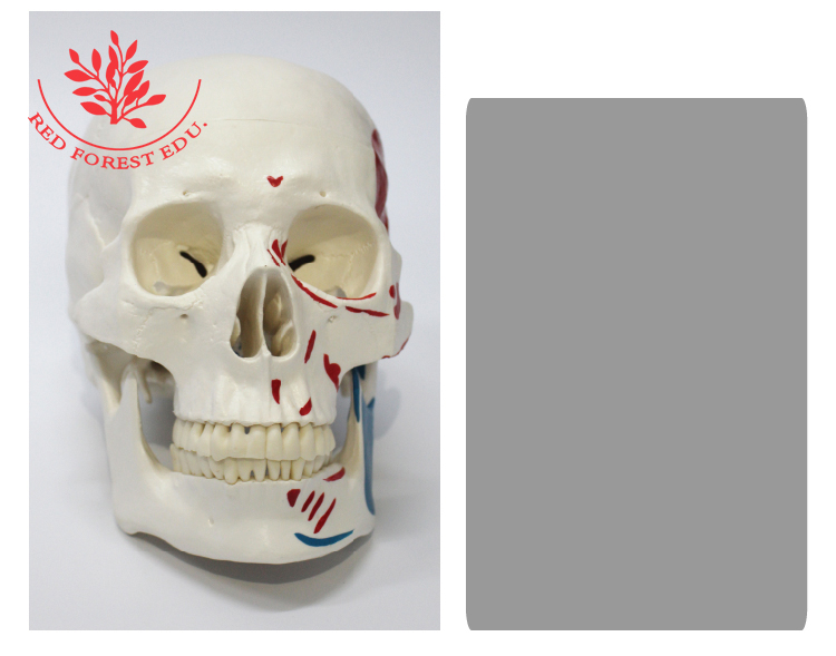 Medical science colored muscle origins and insertions in half head human life size plastic skull model