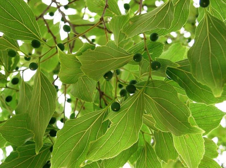 Celtis Tetrandra Seeds,Eastern Nettle Tree Seeds Hindi: Khirk ...