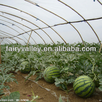 Seedless Watermelon Seeds For Growing How To Plant