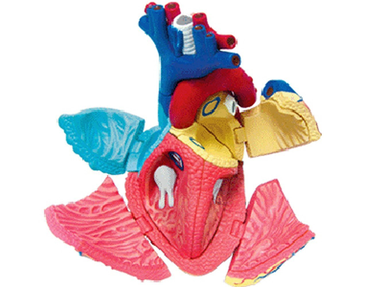 Buy 4D Vision Human Anatomy - Heart Anatomy Model by 4D Master in ...