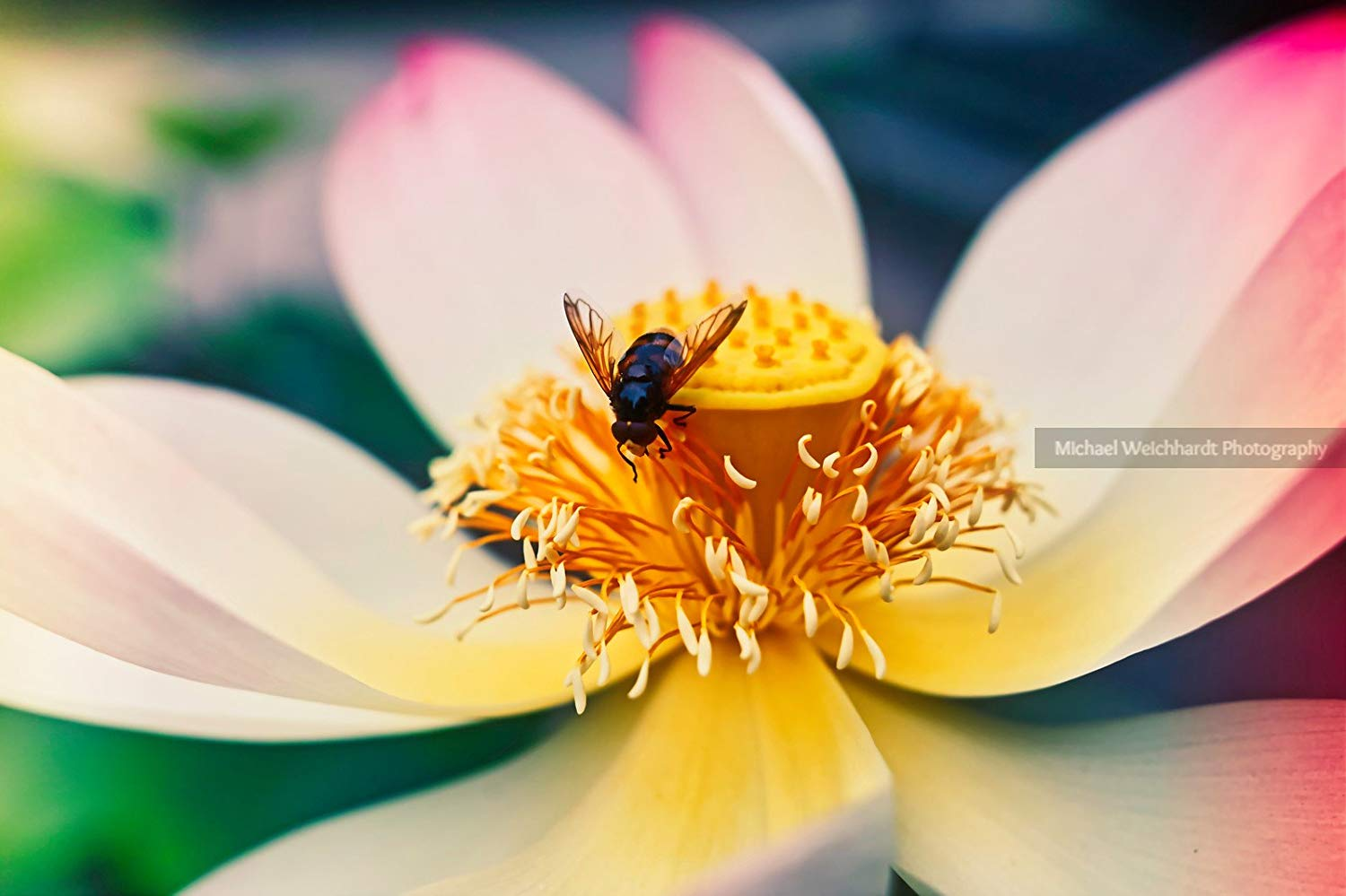 Lotus Flower with Fly Wallpaper Photo Print, Warm, Professional Photography Print, Nature Wallpaper, Paper & Canvas Prints, Nature Flower Photography