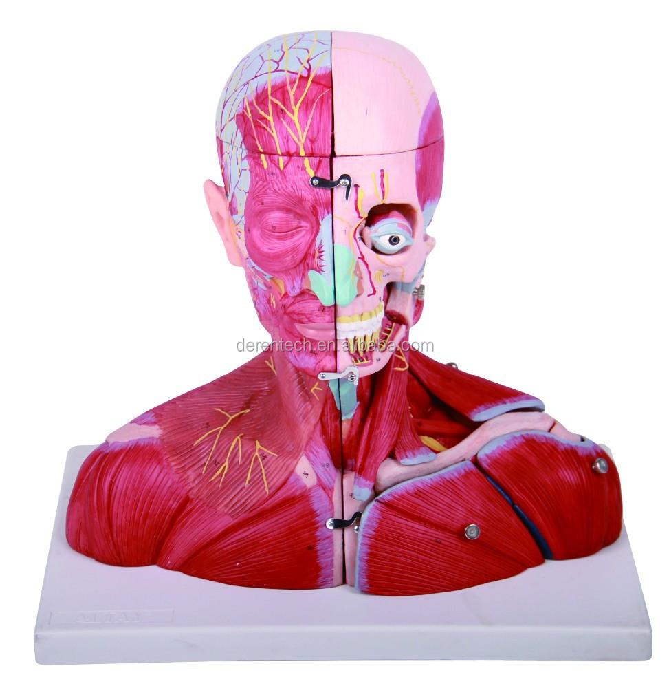 Kopf Regionalen Anatomie Modell,Kopf Regionalen Dissektion Modell ...