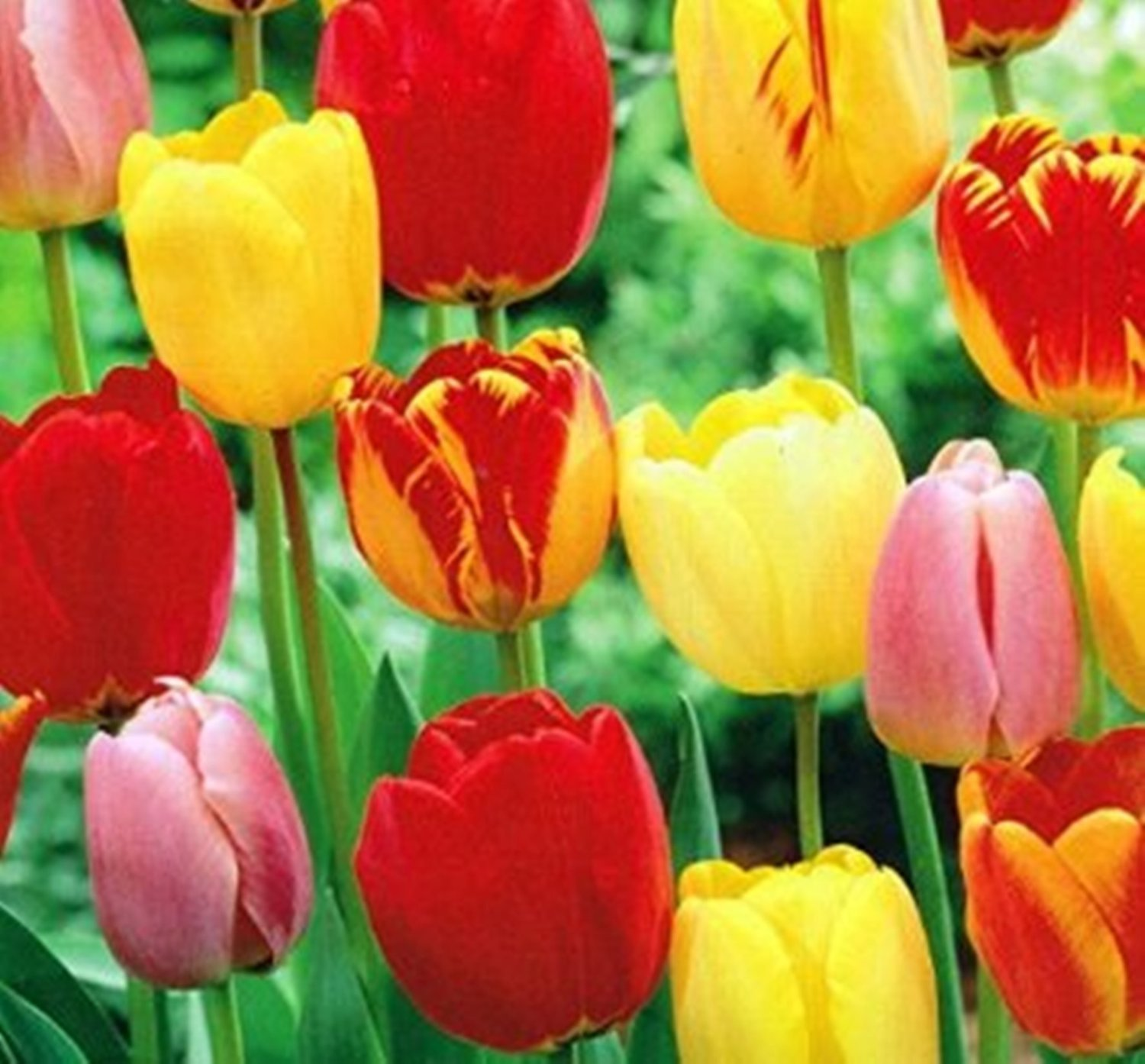 Cheap Perennial Flower Bulbs Find Perennial Flower Bulbs Deals On