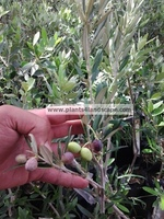 Olive seedlings