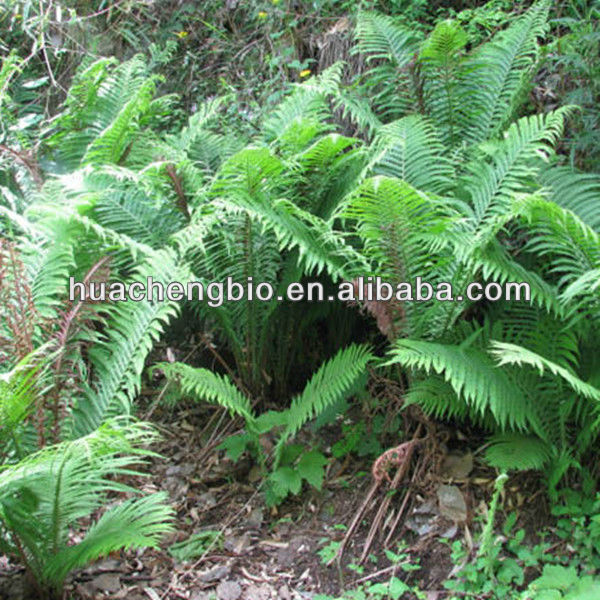 100% Natural Cyrtomium fortunei (Basket fern) P.E.