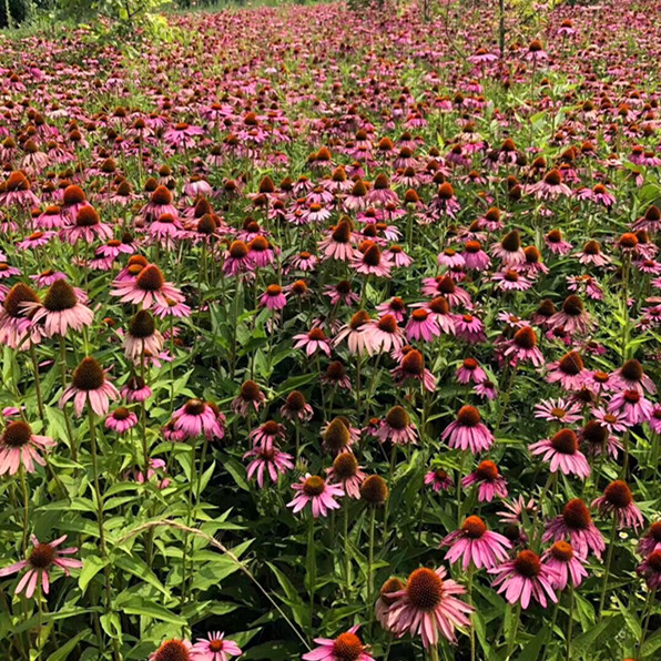 Herbal plant extract Echinacea extract for enhance immunity from factory