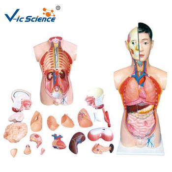 Venta Caliente Modelo De Órganos Del Cuerpo Humano,Los Órganos ...