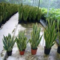 Different types of sansevieria trifasciata laurentii
